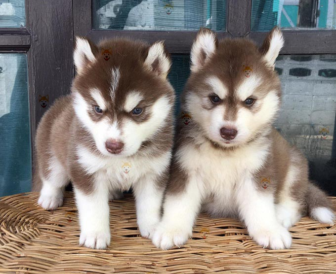 Chó Husky Sibir – Địa chỉ mua bán chó Husky chất lượng tại Dogily Petshop Hà Nội & TpHCM