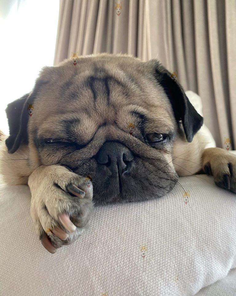 Chó Pug – mua bán chó Pug mặt xệ màu đen, vàng kim tại Dogily Petshop TpHCM & Hà Nội