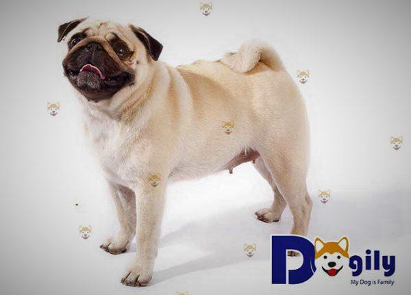 Chó Pug trưởng thành có chiều cao từ 25-35 cm