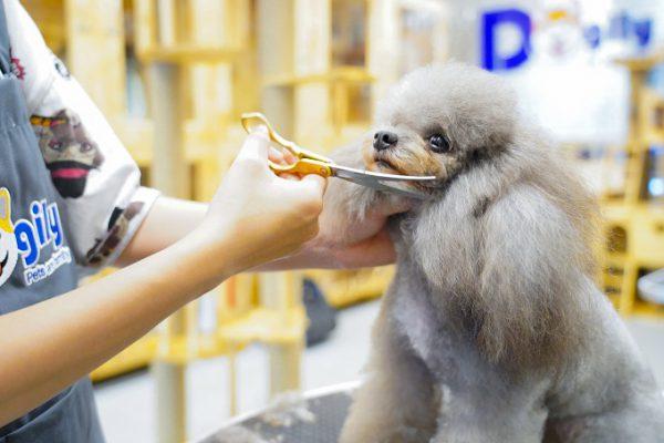 Chó Poodle màu xám được cắt tỉa lông sang chảnh tại Dogily Pet Spa & Grooming