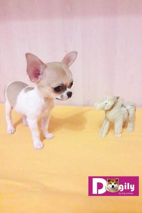 Chó Chihuahua có nguồn gốc từ khu vực châu Mỹ