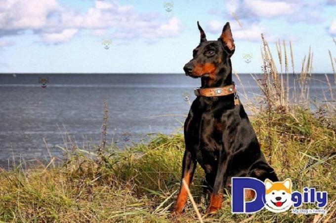 Doberman là giống chó cảnh có nguồn gốc từ nước Đức.