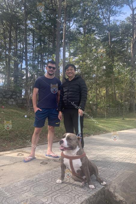 Chú chó Pibull nhập khẩu từ Mỹ tại trang trại Dogily Kennel Đà Lạt.