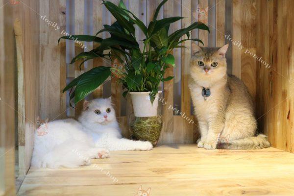 Hai bé mèo Aln màu Golden Ny11 và trắng tuyết cực dịu dàng và dễ thương tại trại mèo Dogily Cattery.