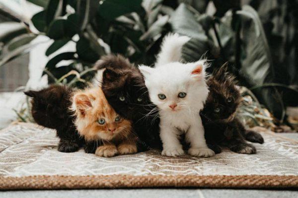 Mèo là gì