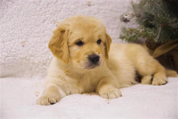 Tìm mua Golden con sinh sản tại Việt Nam qua hệ thống của hàng Dogily Petshop;