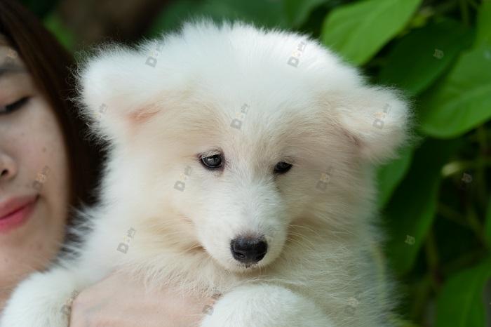 Chó Samoi sinh sản tại Việt Nam có giá bán như thế nào?