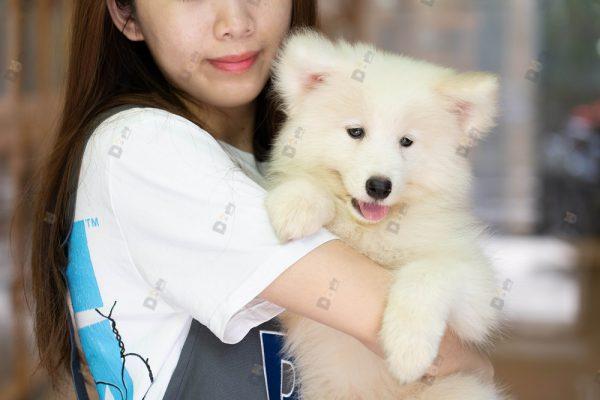 Mua bán Chó Samoyed con thuần chủng tại Dogily Petshop Hà Nội, TpHCM