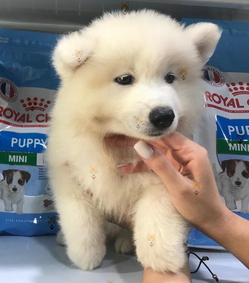 Mua bán Chó Samoyed con thuần chủng tại Dogily Petshop Hà Nội, TpHCM.