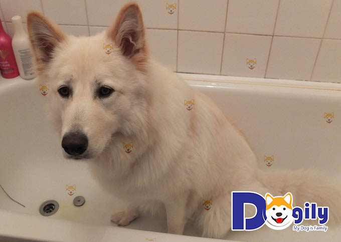Phòng bệnh chó cún Samoyed