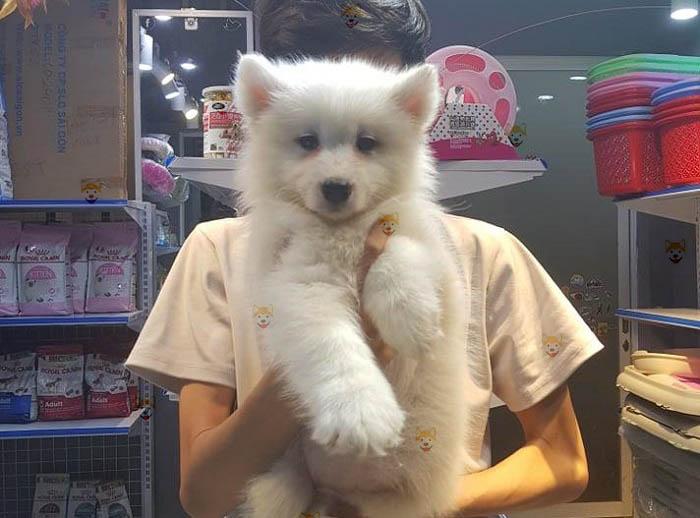Chó Samoyed con tại Dogily