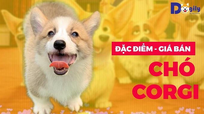Đặc điểm, giá bán chó Corgi trên kênh Youtube Dogily Petshop.