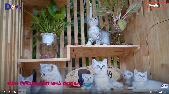 Đàn mèo Aln màu Silver