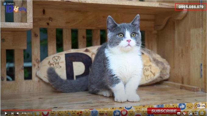 Video mèo Aln chân ngắn màu bicolor