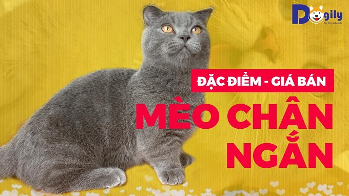 Video giới thiệu đặc điểm, giá bán mèo munchkin chân ngắn.