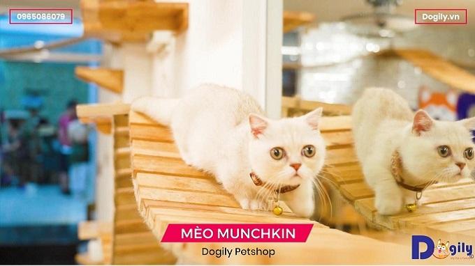 Video mèo Munchkin chân ngắn