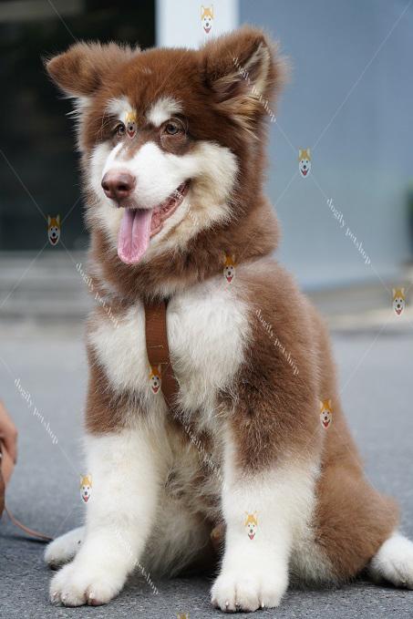 Mua bán chó Alaska con thuần chủng tại Dogily Petshop Hà Nội, TpHCM.