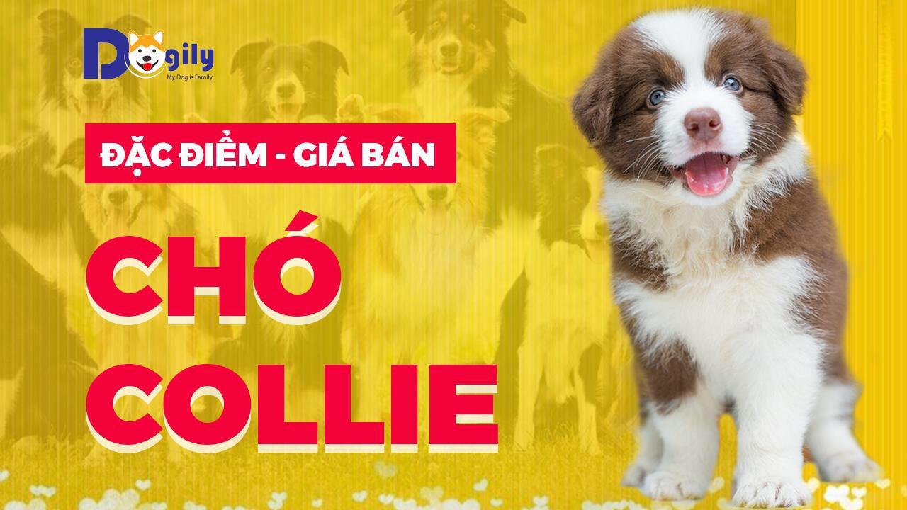 Hình nền chó Border Collie