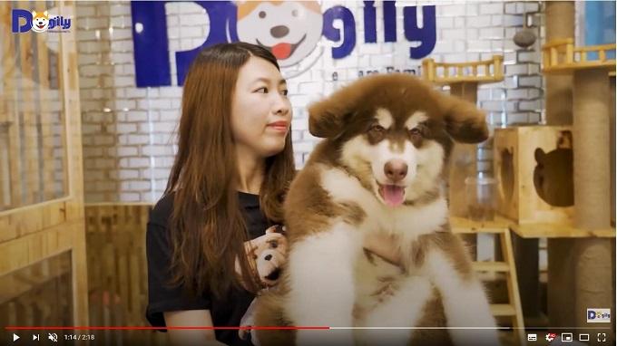 Bán chó Alaska con màu nâu đỏ tại Dogily Petshop.