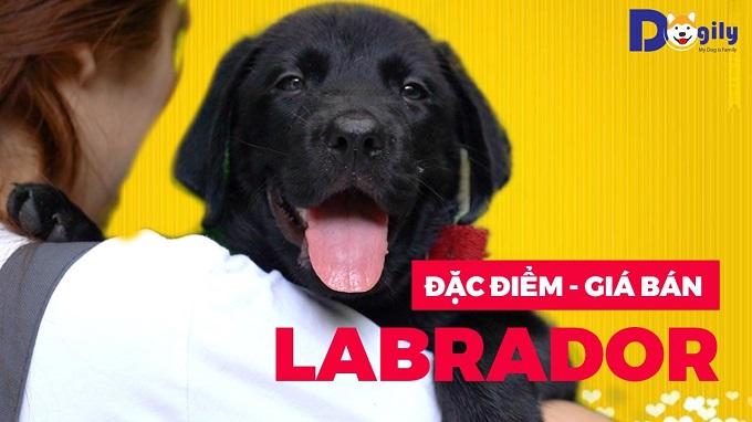 Video chó Labrador Retriever Dogily Petshop.