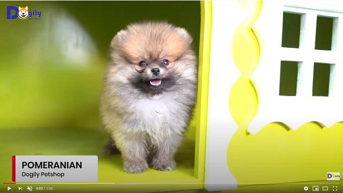Bán chó Phốc sóc con (Pomeranian, Boo) tại Dogily Pet Shop Cộng Hòa, phường 13, quận Tân Bình, Tphcm.