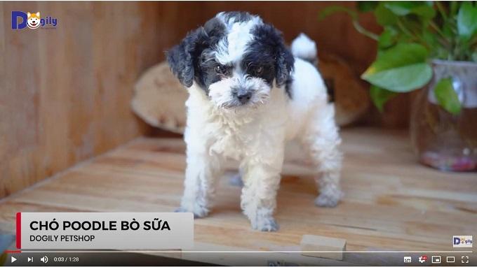 Chó Poodle bò sữa size Tiny đang bán tại Dogily Petshop Ba Tháng Hai, quận 10, Tphcm.