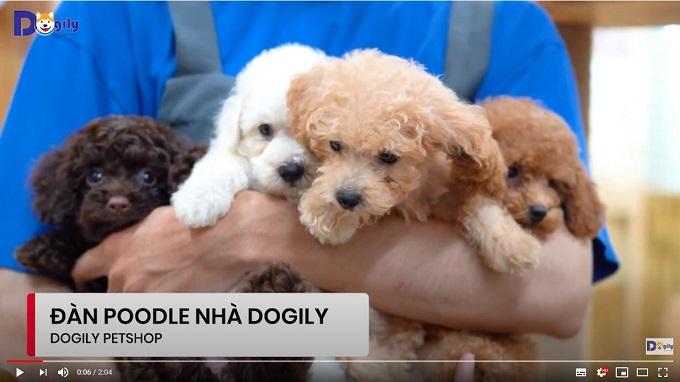 Đàn chó Poodle con size tiny toy đủ màu trắng, kem, nâu đỏ, vàng mơ, socola... đang bán tại Dogily Petshop.