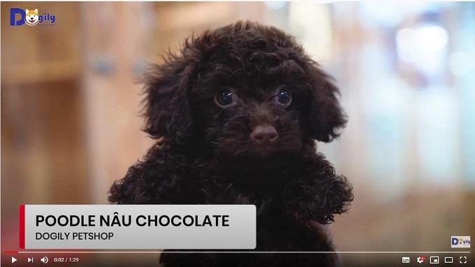 Chó Poodle màu nâu socola đang bán tại Trại chó VKA Dogily Kennel.