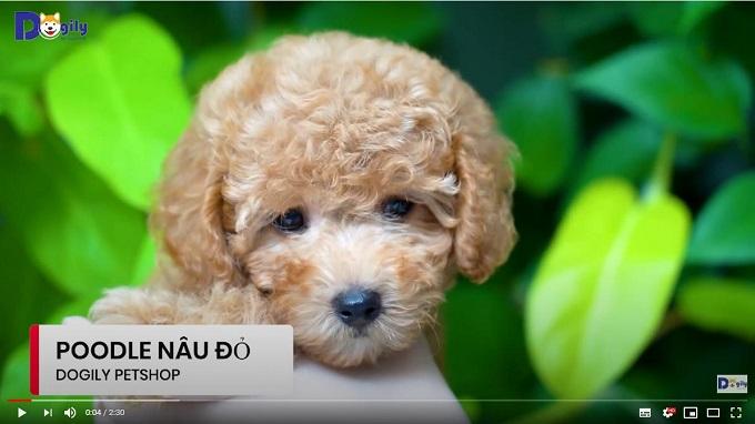 Bán chó Poodle màu nâu đỏ nhạt giá rẻ tại Dogily Pet Shop.