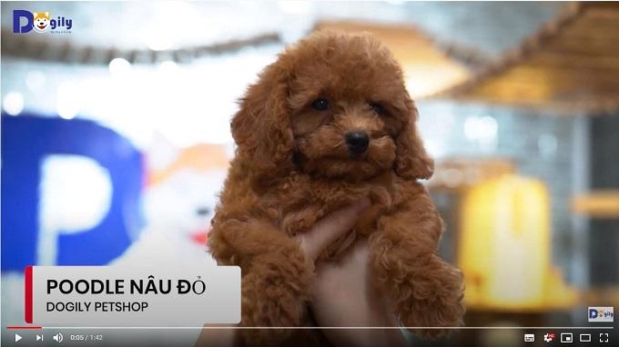 Chó Poodle con màu nâu đỏ đang bán tại Dogily Petshop Cộng Hòa, quận Tân Bình, Tphcm.