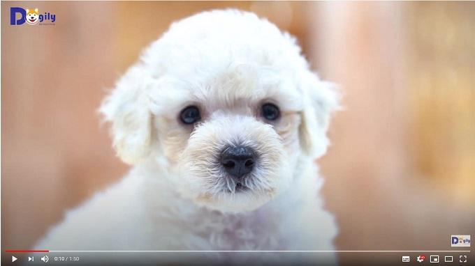 Chó Poodle con màu trắng đang bán tại Dogily Petshop.
