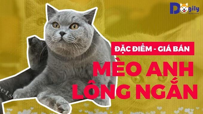 Đặc điểm, giá bán mèo Anh lông ngắn tại Tphcm, Hà Nội.