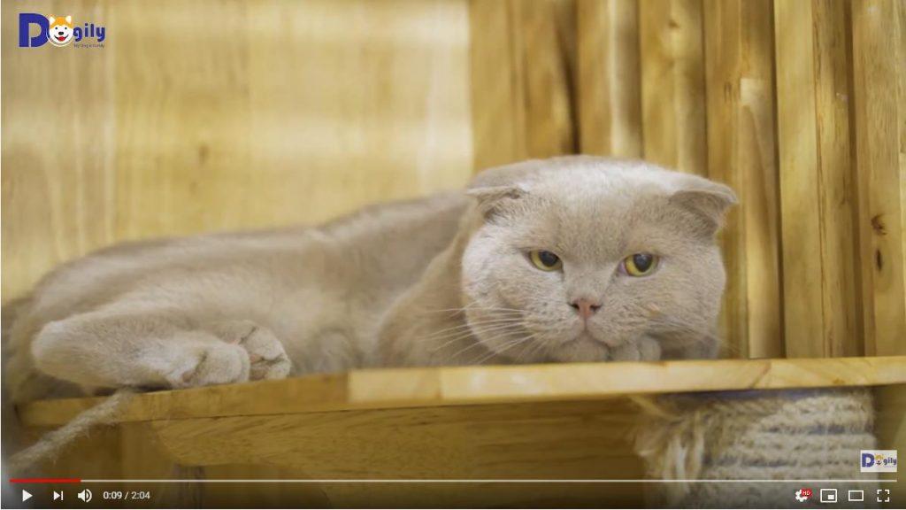 Mèo Aln màu lilac đực giống nhập khẩu Châu Âu nhà Dogily.