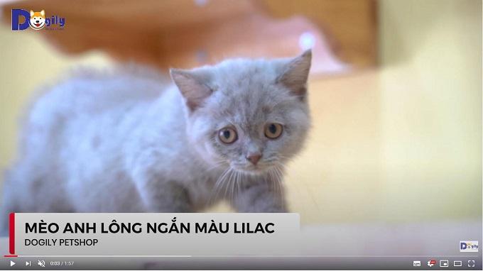 mèo Anh lông ngắn con màu lilac 2 tháng tuổi đang bán tại Dogily Petshop Cộng Hòa.