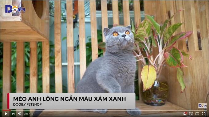 Mèo Anh lông ngắn màu xám xanh tai cụp mắt vàng đồng trưởng thành trên 1 năm tuổi.