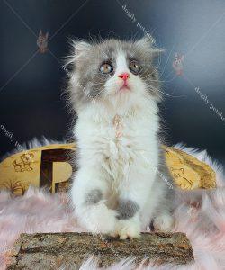 Mua Bán Mèo Anh Lông Dài, Giá Bán Mèo Anh Lông Dài ALD Tốt Nhất