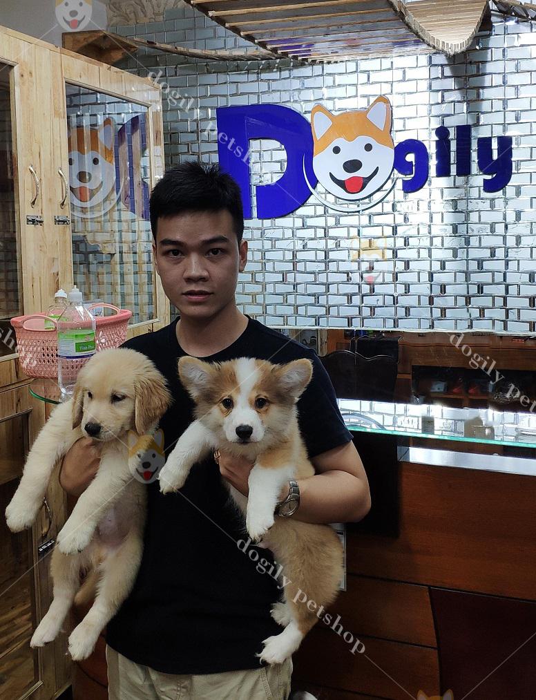 Mua bán chó Golden con thuần chủng tại Dogily Petshop.