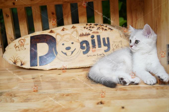 Phân biệt mèo Anh lông ngắn và scottish