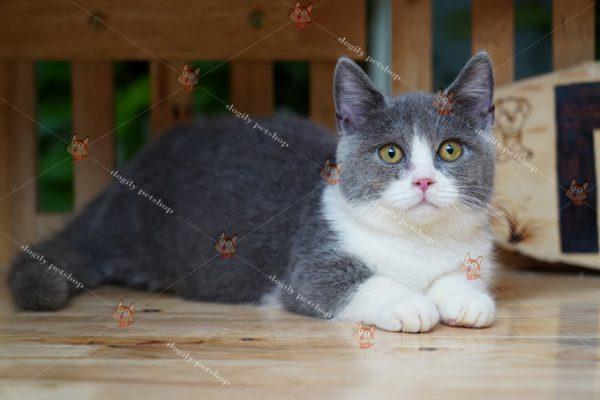 Mèo Anh lông ngắn xám trắng