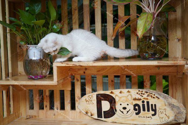 mèo Anh lông ngắn tên tiếng anh là gì
