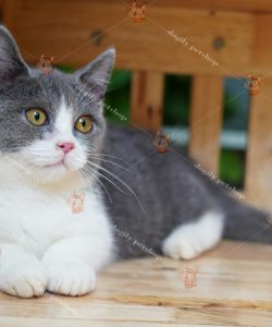 Mèo Anh lông ngắn rất được yêu mến bởi cơ thể bụ bẫm, khỏe mạnh đáng yêu của mình