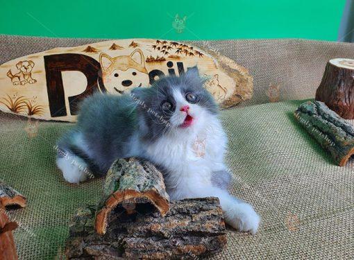 Mua Bán Mèo Anh Lông Dài, Giá Bán Mèo Anh Lông Dài ALD Tốt NhấtMua Bán Mèo Anh Lông Dài, Giá Bán Mèo Anh Lông Dài ALD Tốt Nhất
