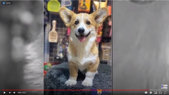 Chó Corgi nhập khẩu Nga