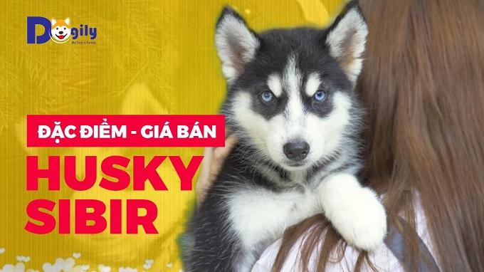 Video đặc điểm giá bán chó Husky Sibir.