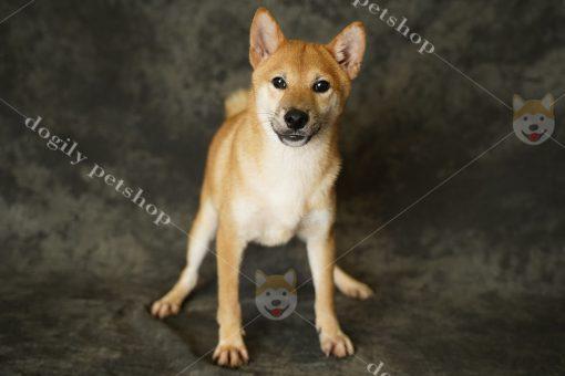 Mua bán chó Shiba Inu thuần chủng tại Dogily Petshop