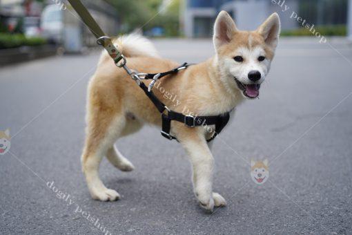 Giống chó Akita Inu – Thông tin tổng quát | Giá mua bán chó Akita tại Tphcm, hà nội.