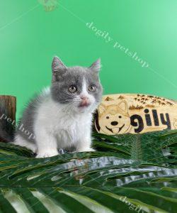 Mèo Munchkin chân ngắn: Giá cả, địa chỉ mua bán mèo Munchkin uy tín tại Hà Nội và TPHCM