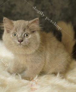 Mua bán mèo ALD con thuần chủng, đầy đủ màu sắc, giá cả hợp lý tại nhà Dogily Petshop.