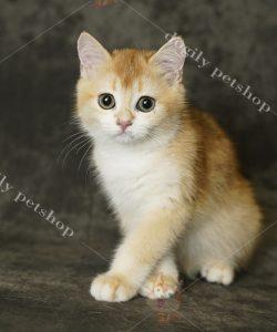 Mua bán mèo ALN con màu Golden thuần chủng tại Dogily Petshop TpHCM, Hà Nội.