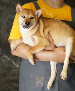 Chó Shiba Inu con thuần chủng màu vàng trắng.